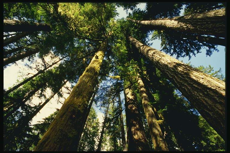 Фото кроны деревьев